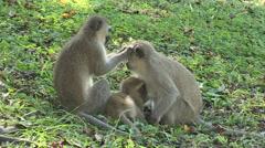 Vervet monkey preening another monkey. Stock Footage