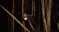 Aye-Aye in tree at night gnaws out pulp of coconut Stock Footage