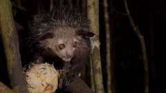 Aye-Aye at night scrapes out coconut using long finger, close-up Stock Footage
