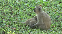 Baby vervet monkey suckling is frightened and runs away. - stock footage