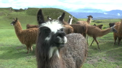 A Llama Steps up to the Camera Stock Footage