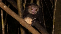 Aye-Aye at night gnaws out pulp of coconut, close Stock Footage