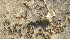 Colony Of Ants Atacking And Eating Beetle Stock Footage