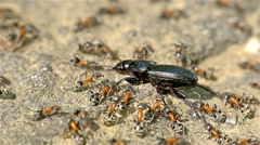 Colony Of Ants Atacking And Eating Beetle - stock footage