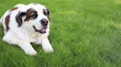 Saint Bernard dog panting in grass, video Stock Footage