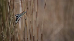Eurasian bittern in the reed close up of a beak. - stock footage