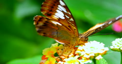 4K Brown and Black Butterfly, Dull Firetip, Apyrrothrix Araxes - stock footage