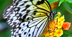 4K Swallowtail Butterfly on Yellow and Orange Tropical Flower, Exotic Jungle Stock Footage