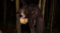 Aye-Aye scrapes in coconut using long finger, chewing pulp, close Stock Footage