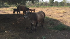 Cow under the shadow of tree Stock Footage