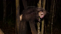 Aye-Aye in tree at night eats pulp of coconut, close - stock footage