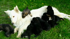 Little Puppies Suckling its Mother, Newborn Doggies Feeding Stock Footage