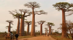 Famous Baobab Avenue in Madagascar with zebu cart Stock Footage