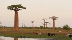 Baobab forest in evening light and zebus in Madagascar - stock footage