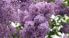 The lilac flowers in the wind. Stock Footage