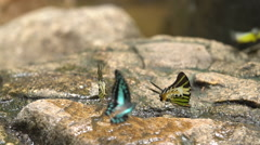An orange butterfly dries its wings . Stock Footage