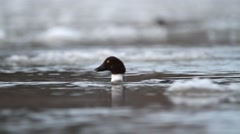 Common Goldeneye. Winter flock feeding. Sequence. Stock Footage