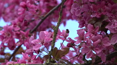 Bee gathering pollen in a cherry blossom - nature background, close up Stock Footage