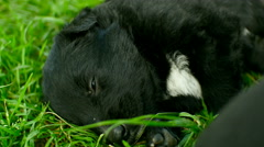 Mongrel puppies sleep Stock Footage