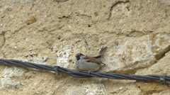 Singing little sparrow singing and flying away + audio Stock Footage