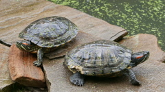 Two freshwater turtles Stock Footage