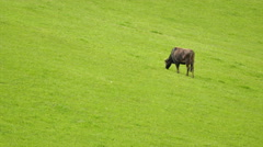 4K shot. Cow on a mountain pasture with a green grass - stock footage