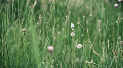 White butterfly sits on a dandelion among green grass. - stock footage