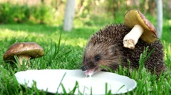Hedgehog with a mushroom on the back of the tongue lapping milk. Stock Footage