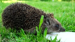 Nice hedgehog drinks milk from a bowl in the garden on the green grass. - stock footage