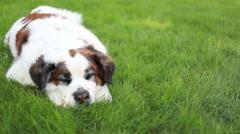 Saint Bernard dog resting in grass, video Stock Footage