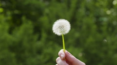 Blowing white dandelion on sunny day slowmo Stock Footage