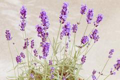 Blooming lavender at Provence interior - stock photo