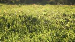 Dandelion field in sunset light gimbal stabilized footage Stock Footage