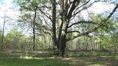 4k Majestic old oak tree tilt shot spring season nature reserve Stock Footage