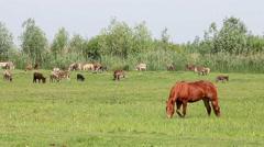 brown stallion on pasture - stock footage
