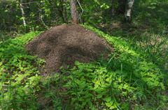 Big anthill in forest Stock Photos