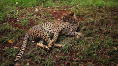 Young leopard laying on the ground and turning Stock Footage