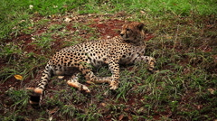 Young leopard laying on the ground and licking a paw Stock Footage
