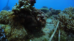Black octopus is hiding in a coral reef and looking at the camera. Underwater sh Stock Footage