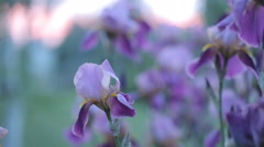 Iris flowers swaying in the wind. Bright sunny day Stock Footage