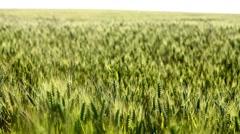 Wheat green field - stock footage