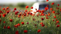 Poppy flower field Stock Footage