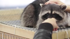 raccoon in a cage - animals in cage - stock footage