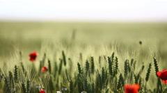 Poppy flower field - stock footage