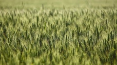 Wheat green field Stock Footage