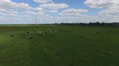 Flying over the herd of cows grazing in a green field. Stock Footage