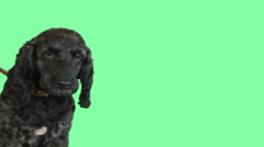 Funny dog looking on green screen Arkistovideo