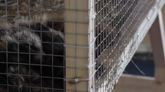 Raccoon dog,  Tanuki  in a cage - animals in cage Stock Footage