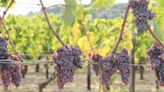 Italian vineyard grappe plantation dolly right Stock Footage