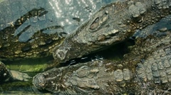 Fresh water crocodiles is crawling on each in shallow water Stock Footage